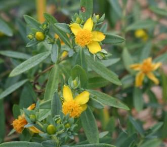 Dianthus caesius 'Whatfield...