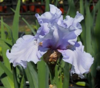 Dianthus caesius 'Mrs....