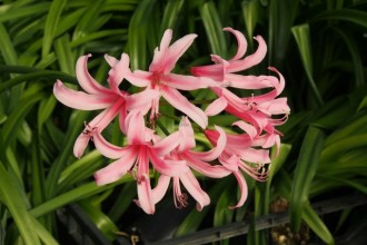 Anemone hybrida 'Coupe d'...