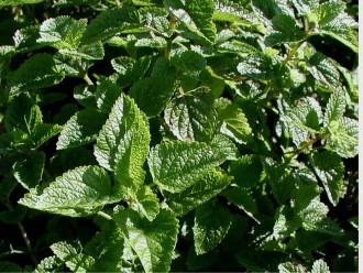 Perovskia atriplicifolia...