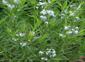 Anemone hybrida 'Multiplex'
