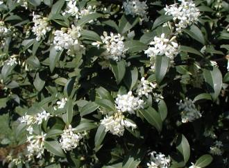 Rubus calycinoides 'Betty...