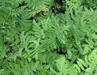Rubus thibetanus 'Silver Fern'