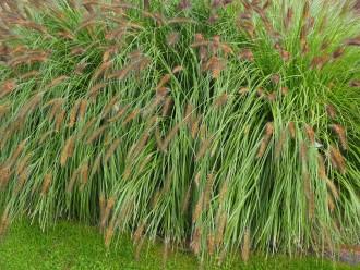 Salvia officinalis 'Jcterina'
