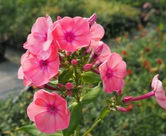 Sedum ochroleucum ssp. glaucum