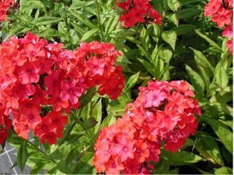 Helenium  'Bressingham Gold'