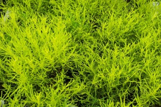 Sedum  Sunsparkler 'Lime...
