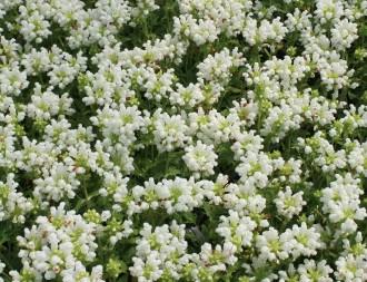 Solidago hybrida 'Goldenmosa'