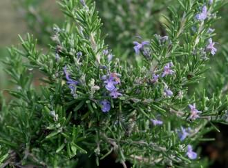 Thymus citriodorus 'Aurea'