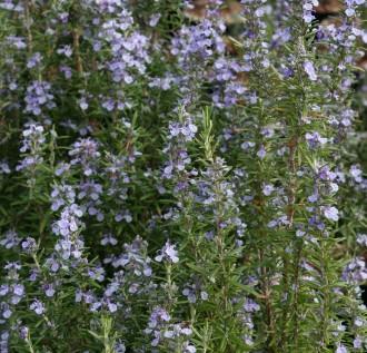 Thymus hybridum 'Ginger'