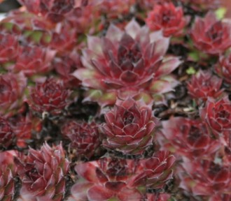 Thymus serpyllum 'Magic...