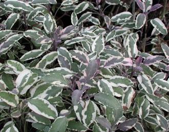 Verbena chamaedrifolia