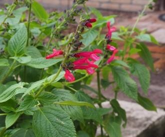 Verbena pulchella