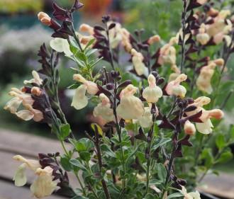 Viburnum hybridum 'Pragense'
