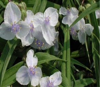 Viola odorata 'Royal Robe'