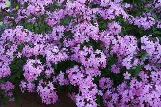 Viola hybrida 'Molly...