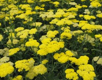 Aster ericoides 'Pink Star'