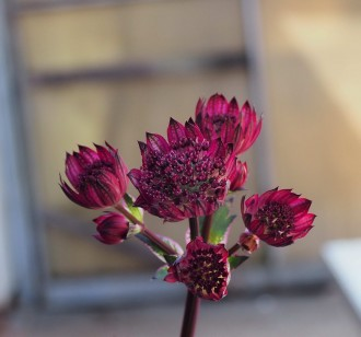 Cotinus coggygria 'Royal...