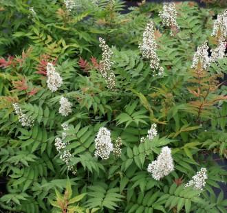 Eragrostis curvula 'Totnes...