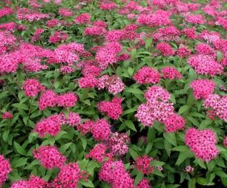 Miscanthus sinensis...