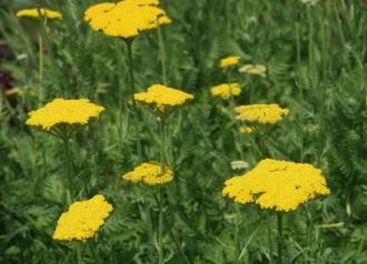 Aster cordifolius 'Blue...