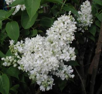 Euphorbia amygdaloides var....