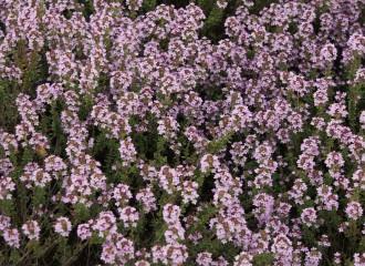 Dianthus plumarius 'Doris'