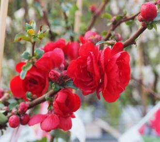Allium schoenoprasum...