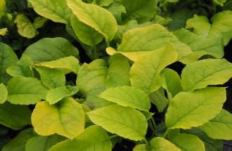 Viburnum plicatum 'Mariesii...