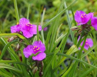 Chrysanthemum x superbum...