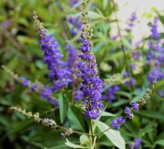 Achillea millefolium 'Inca...