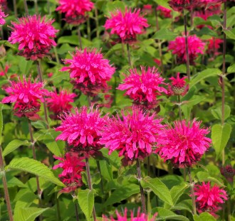 Astilbe japonica 'Delft Lace'