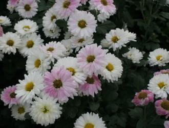 Physocarpus opulifolius...