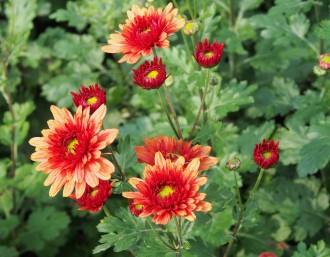 Coreopsis verticillata...