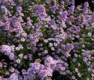 Aster  'Pink Button'
