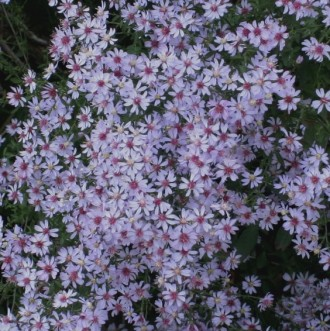 Aster amellus 'Violet Queen'