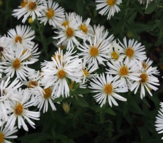 Anemone hybrida 'Karminia'