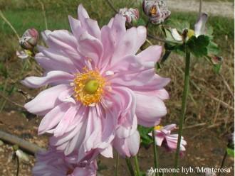 Bergenia cordifolia 'Rosa...