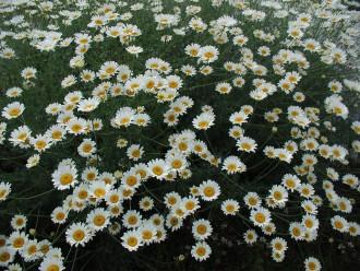 Brunnera macrophylla...