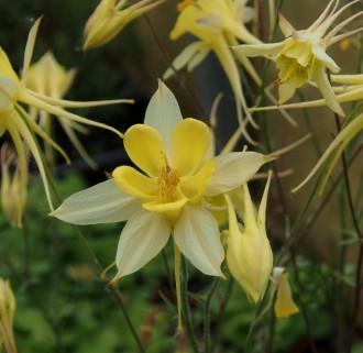 Calamintha nepeta ssp....