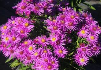 Artemisia momijamae