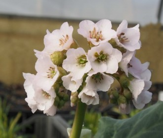 Carex sp. 'Kioto'