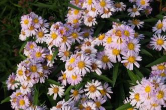 Artemisia vulgaris...