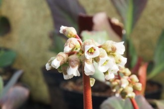 Caryopteris x cland. 'Kew...