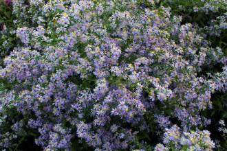 Chrysanthemum arcticum...