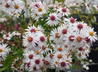 Chrysanthemum nipponicum