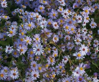 Chrysanthemum  'Anne Lady...
