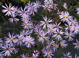 Chrysanthemum  'Clementine'