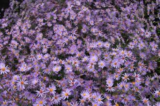 Chrysanthemum  'Dernier...