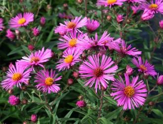 Chrysanthemum  'Duchesse of...